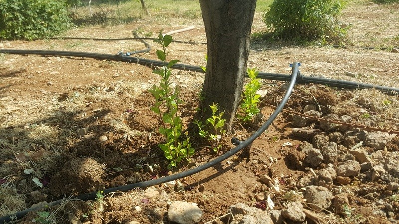 بهترین روش آبیاری درختان گردو به روش غرقابی
