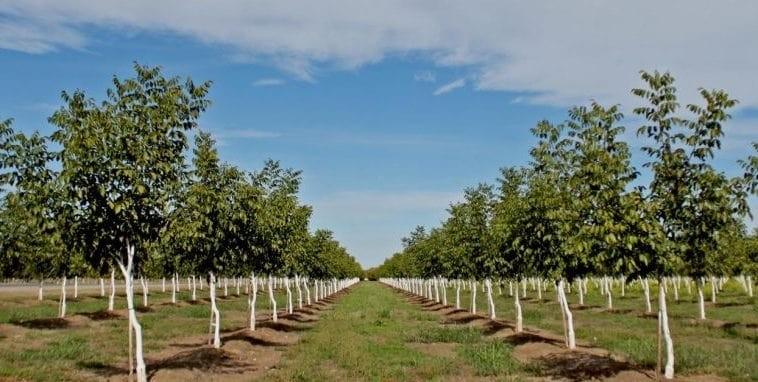 بهترین روش آبیاری درختان گردو در زمان مناسب